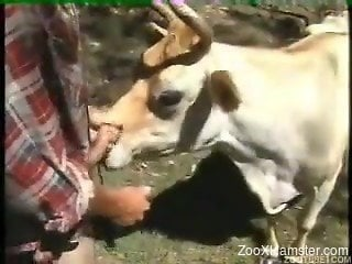 Raunchy farmer fucks cow from behind and gives it cock for suc...