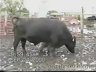 Sexy-ass bull flaunting his thick body, so much swagger