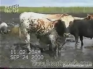Cows on cam for the delight of zoophilia porn lovers
