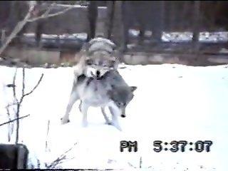 Two wild wolves enjoying hardcore fucking outdoors